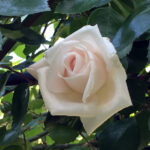 Een witte nieuwe dageraad – roos White New Dawn