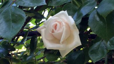 Een witte nieuwe dageraad - roos White New Dawn