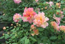 Rosa Phyllis Bide, kleurrijk schouwspel