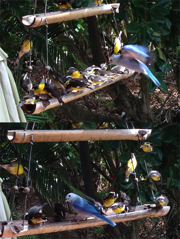 Bananaquits en Blue Tanager