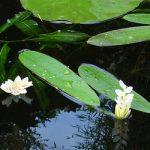 Aponogeton Dystachios, Kaapse waterlelie