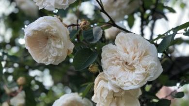Rosa Sombreuil: The finest ivory climber in the rose world