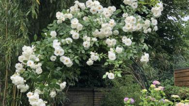Sneeuwwitje in een rozenboog