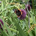Vlinder Atalanta op Allium-bloem